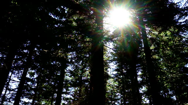 forest with conifers - pinaceae stock videos & royalty-free footage