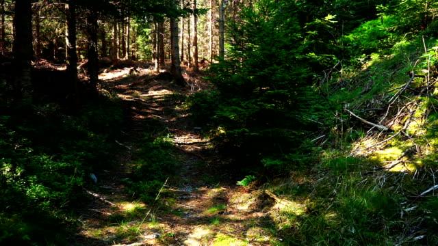 vídeos y material grabado en eventos de stock de bosque con camino - pinaceae