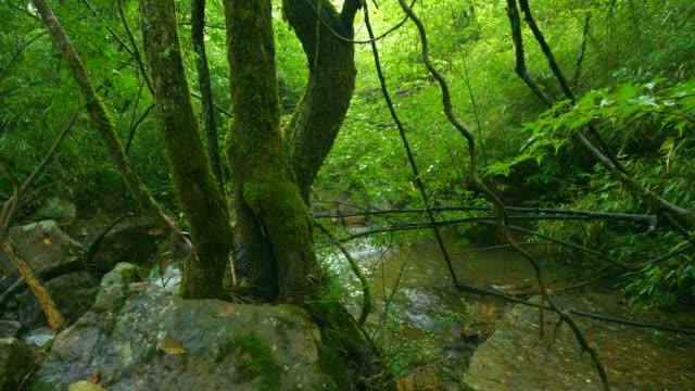 vídeos de stock, filmes e b-roll de floresta com córrego - faia árvore de folha caduca