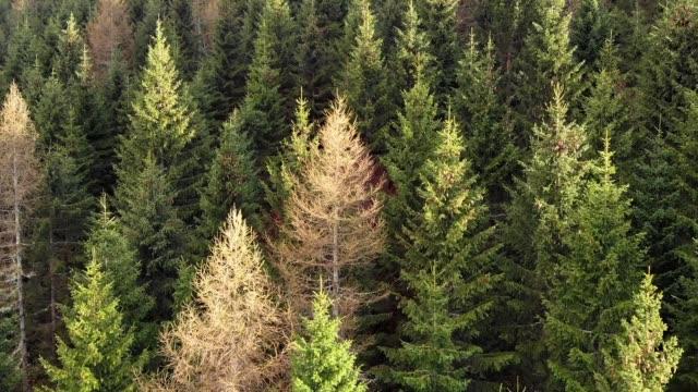Foresta di pini di montagna ripresa dal drone