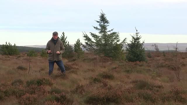 forestry commission admits it was wrong to allow tree-planting on uk peat bogs; england: cumbria: berrier end: ext general view forest joshua styles... - moss stock videos & royalty-free footage