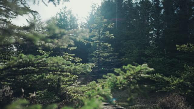 ノルウェーの森林:春のトウヒと松の詳細 - とげ点の映像素材/bロール