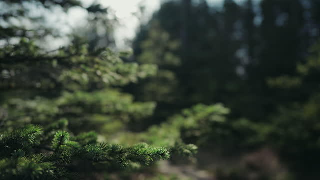 vídeos de stock e filmes b-roll de forests of norway: details of spruces and pines in spring - pinhal