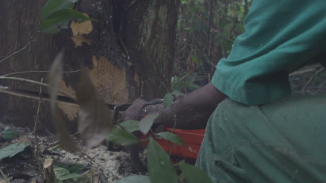 cu forestworker cutting tree with chainsaw tree falls / buikwe, uganda - chainsaw stock videos & royalty-free footage