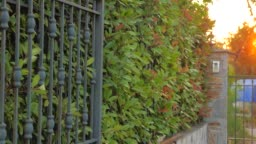 Forged gates closing, opening with green leaves of bush, shrub on background. Automated gate system. Smart house concept. Security and safety of private house, territory background.