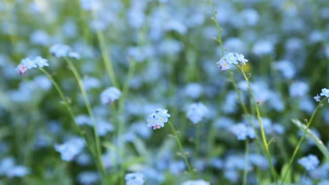 cu r/f forget me not flowers in summer / london, uk - ワスレナグサ点の映像素材/bロール
