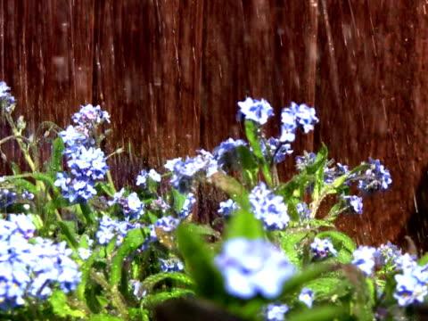 ワスレナグサの雨 - ワスレナグサ点の映像素材/bロール