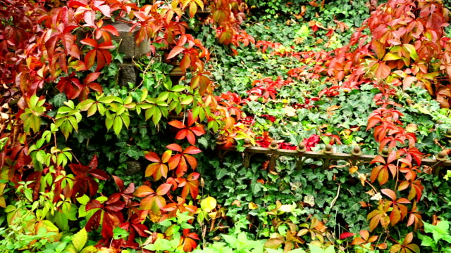 forgotten grave with virginia creeper plant - creeper stock videos and b-roll footage
