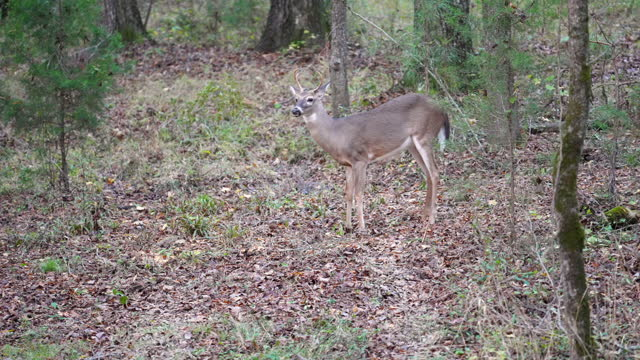 a fork horned whitetail buck foraging and feeding in north carolina woods - foraging stock videos & royalty-free footage