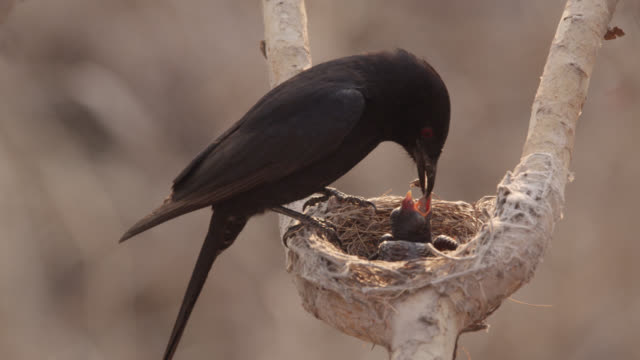 fork tailed drongo feeds african cuckoo (cuculus gularis) chick in its nest, zambia - jungvogel stock-videos und b-roll-filmmaterial