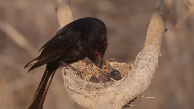 vídeos de stock, filmes e b-roll de fork tailed drongo feeds african cuckoo (cuculus gularis) chick in its nest, zambia - alimentando