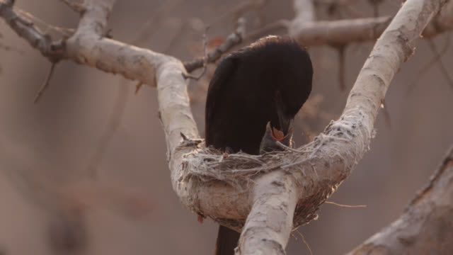 fork tailed drongo feeds african cuckoo (cuculus gularis) chick in its nest, zambia - drongo stock videos & royalty-free footage
