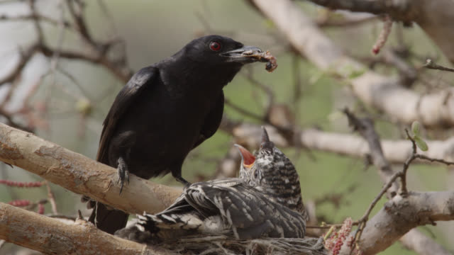 stockvideo's en b-roll-footage met fork tailed drongo feeds huge african cuckoo (cuculus gularis) chick in its nest, zambia - voeren
