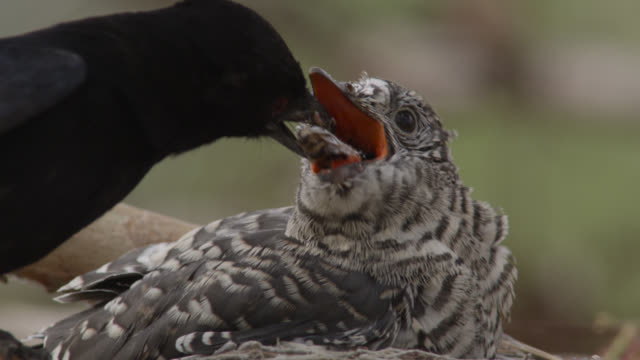 fork tailed drongo feeds huge african cuckoo (cuculus gularis) chick in its nest, zambia - cuckoo stock videos and b-roll footage
