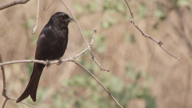 fork tailed drongo (dicrurus adsimilis) in tree, zambia - drongo stock videos and b-roll footage