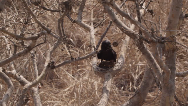 fork tailed drongo shades african cuckoo (cuculus gularis) chick in its nest, zambia - drongo stock videos and b-roll footage