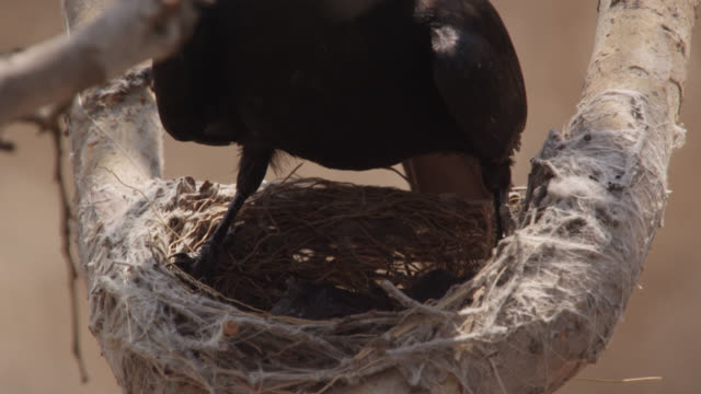 fork tailed drongo shades african cuckoo (cuculus gularis) chick in its nest, zambia - drongo stock videos & royalty-free footage