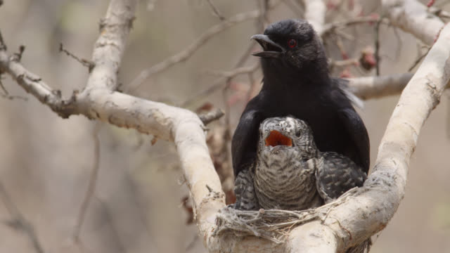 fork tailed drongo shades huge african cuckoo (cuculus gularis) chick in its nest, zambia - two animals stock-videos und b-roll-filmmaterial