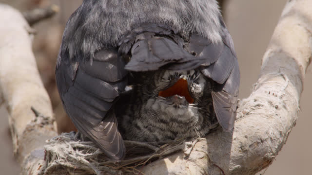fork tailed drongo shades huge african cuckoo (cuculus gularis) chick in its nest, zambia - drongo stock videos and b-roll footage
