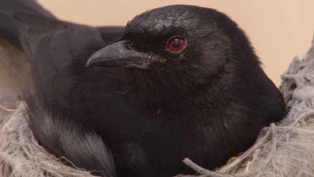 fork tailed drongo (dicrurus adsimilis) sitting on nest in tree, zambia - drongo stock videos and b-roll footage