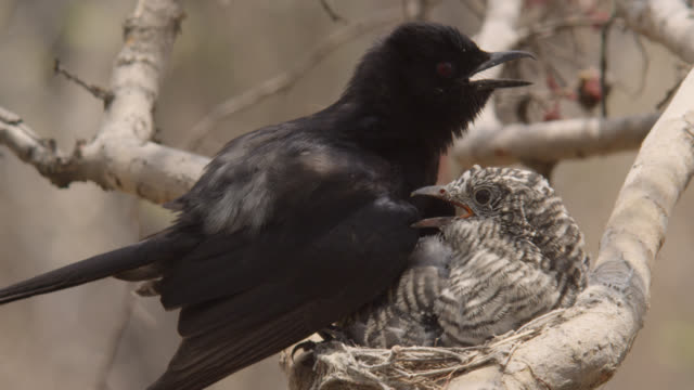 fork tailed drongo with huge african cuckoo (cuculus gularis) chick in its nest, zambia - drongo stock videos & royalty-free footage