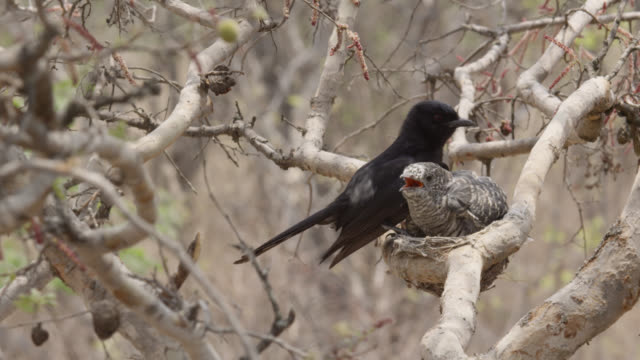fork tailed drongo with huge african cuckoo (cuculus gularis) chick in its nest, zambia - cuckoo stock videos and b-roll footage
