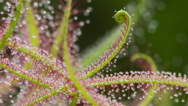 tl forked sundew leaves unfurl, uk - stem topic stock videos & royalty-free footage