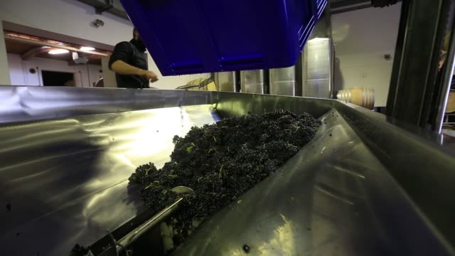 A forklift truck empties a crate of spaetburgunder grapes into a grape crushing machine manufucatured by Wottle GmbH during pinot noir wine...