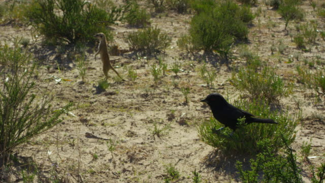 ha fork-tailed drongo perched in bush with foraging meerkat in background - drongo stock videos & royalty-free footage