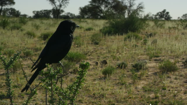 vídeos y material grabado en eventos de stock de ms fork-tailed drongo perched in bush with meerkats foraging in background - cuatro animales