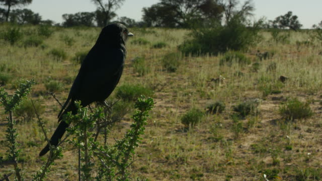ms fork-tailed drongo perched in bush with meerkats foraging in background - foraging stock videos & royalty-free footage