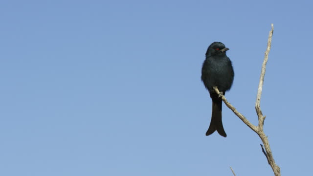 fork-tailed drongo perched in dead tree looking around - perching stock videos & royalty-free footage