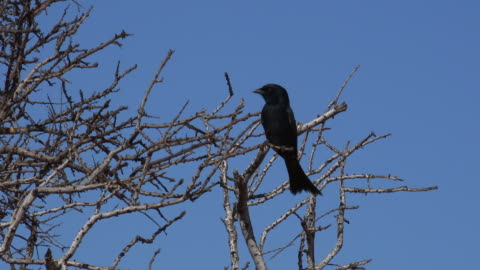 la fork-tailed drongo perched in tree then flies off - perching stock videos & royalty-free footage