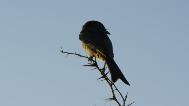 la ms fork-tailed drongo perched on branch in evening light - sich niederlassen stock-videos und b-roll-filmmaterial