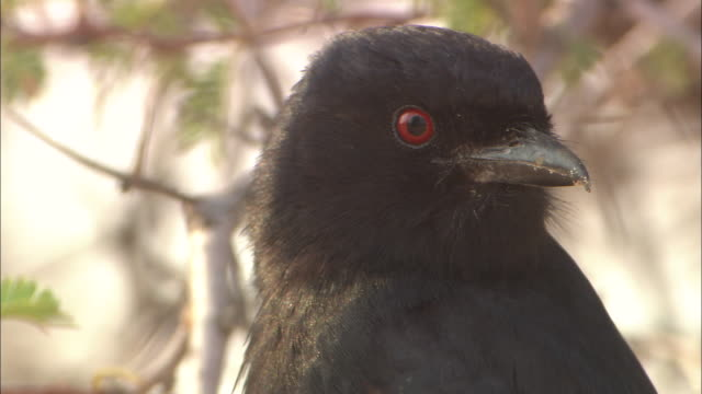 cu, fork-tailed drongo squawking and flying off tree branch, headshot, south africa - animal head stock videos & royalty-free footage