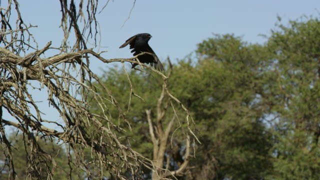 la fork-tailed drongo stretches wings on tree branch - gespreizte flügel stock-videos und b-roll-filmmaterial