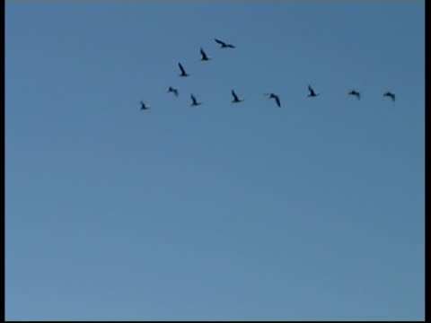 formation of cormorants (family phalacrocoracidae) flying over ancient city, israel - birds flying in v formation stock videos and b-roll footage