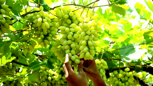 former checking ripe grapes in vineyard - grape stock videos & royalty-free footage