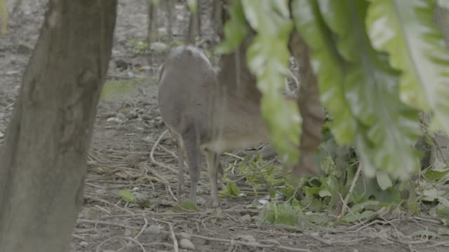 formosan sika deer - foraging stock videos & royalty-free footage