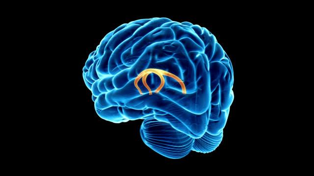 fornix of the brain - biomedizinische illustration stock-videos und b-roll-filmmaterial