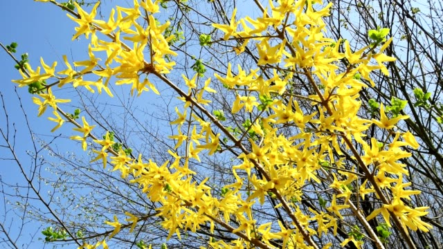 forsythia, forsythia intermedia, forsythia forsythias, flowering branches in spring, bavaria, germany - temperate flower stock videos and b-roll footage