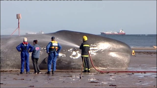 forty four foot sperm whale found dead on redcar beach in cleveland; england: cleveland: redcar: ext various views of juvenile sperm whale stranded... - aquatic organism stock videos & royalty-free footage