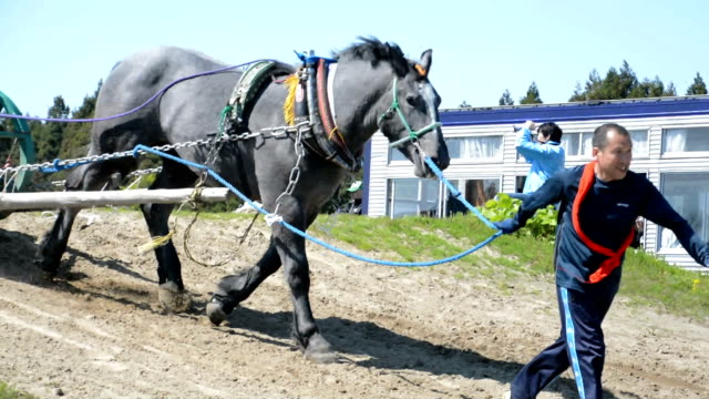 Fortythree draft horses and ponies showed off their pulling power during a strength competition held in Sotogahama Aomori Prefecture on May 8 Japan...