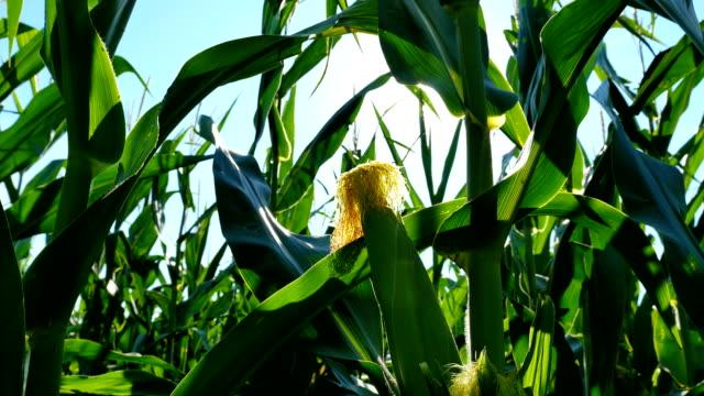 forward corn husk hd - iowa stock videos & royalty-free footage