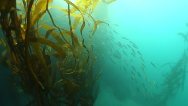 vidéos et rushes de forward: plenty of fish hiding behind the plants of monterey california - algues