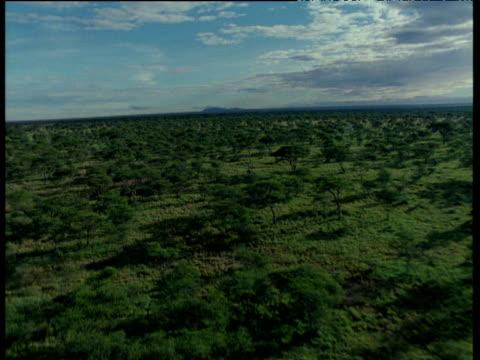 forward track over acacia woodland - acacia tree stock videos & royalty-free footage
