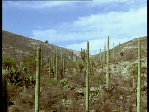 Forward track over columnar cactus valley in Mexican desert