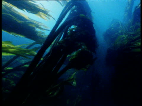 Forward track through underwater bull kelp forest, California