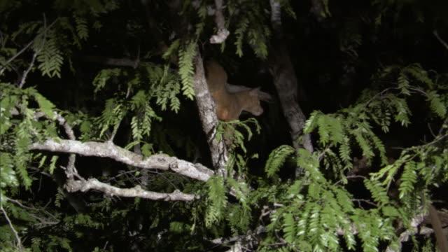 fossa (cryptoprocta ferox) in tree at night, madagascar - acacia tree stock videos & royalty-free footage
