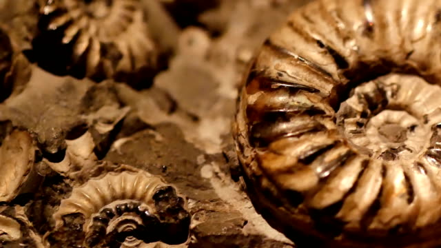 Fossil & Ammonite close up panning shot